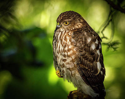 Photograph - Coopers Hawk by Bill Posner