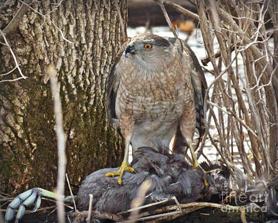 Photograph - Cooper Hawk by Kathy M Krause