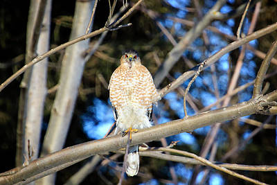 Photograph - Coopers Hawk 2 by Gary Hall