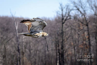Photograph - Coopers Hawk 3 by Patrick Shupert