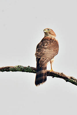 Photograph - Cooper's Hawk by Alan Lenk