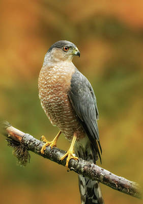 Photograph - Cooper's Hawk by Angie Vogel