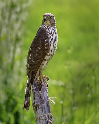 Hawk Photograph - Coopers Hawk by Bill Wakeley