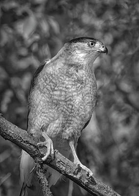 Photograph - Coopers Hawk Bw by Rick Mosher