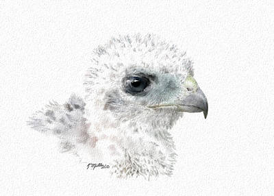 Digital Art - Coopers Hawk Chick by Kathie Miller