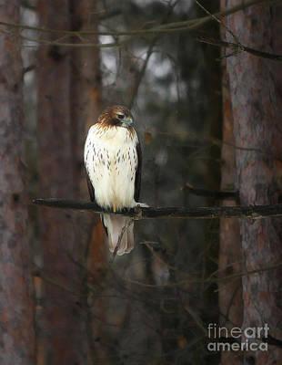 Photograph - Cooper's Hawk by Clare VanderVeen