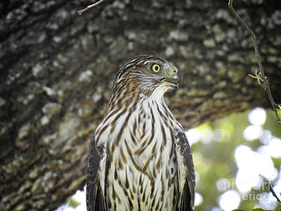 Photograph - Coopers Hawk Closeup by Ella Kaye Dickey