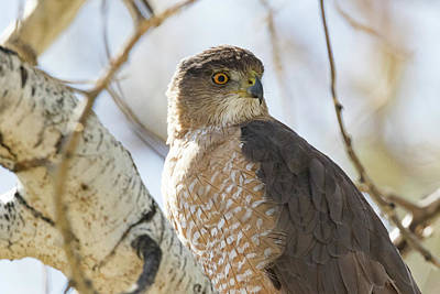 Up Up And Away - Coopers Hawk Closeup by Tony Hake