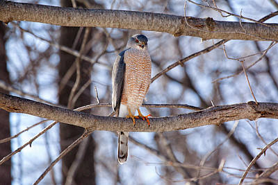 Photograph - Cooper's Hawk by Eunice Gibb