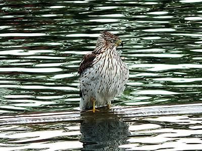Hawk Photograph - Cooper's Hawk  by Floyd  Kauffman