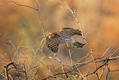 Photograph - Coopers Hawk Hunting by Loree Johnson