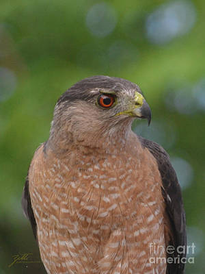 Photograph - Cooper's Hawk II by Suzette Kallen