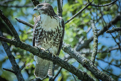Photograph - Coopers Hawk Img 2 by Bruce Pritchett