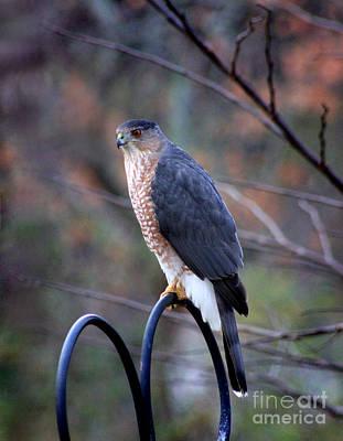 Photograph - Coopers Hawk In Autumn by Karen Adams