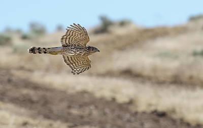 Coopers Hawk In Flight Art Print