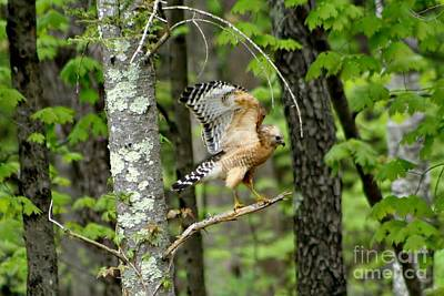 Photograph - Coopers Hawk In New Hampshire by Barbara S Nickerson