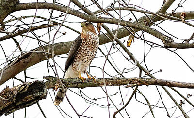 Photograph - Cooper's Hawk In Old American Elm Tree by William Jobes