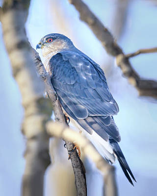 Photograph - Coopers Hawk by Joni Eskridge