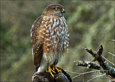 Photograph - Coopers Hawk by Julia Hassett