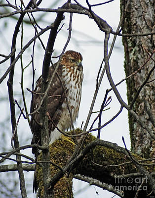 Photograph - Coopers Hawk Juvenile by Lizi Beard-Ward