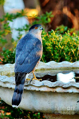 Photograph - Coopers Hawk by Kelly Nowak