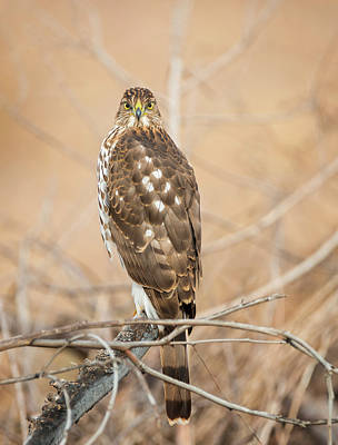 Photograph - Coopers Hawk Looking At You by Loree Johnson