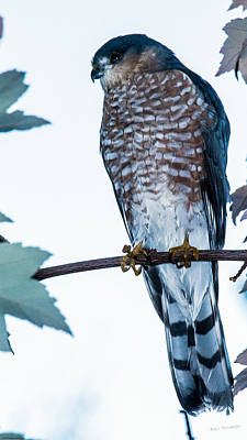 Photograph - Coopers Hawk by Mick Anderson