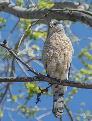 Photograph - Coopers Hawk Perched In A Tree by Rick Mosher