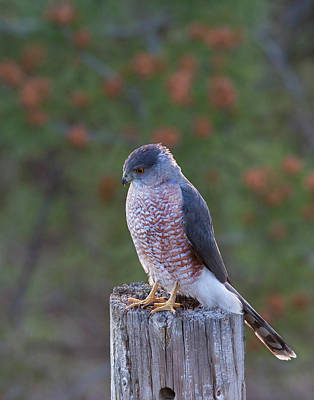 Photograph - Coopers Hawk Perched by Mark Miller