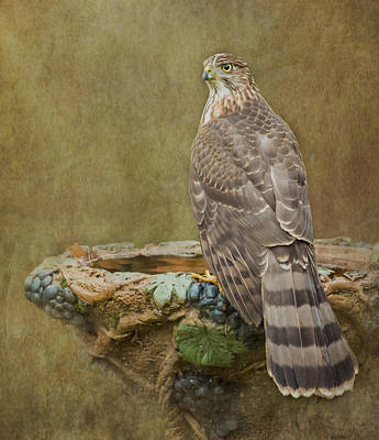 Photograph - Coopers Hawk Portrait by Angie Vogel