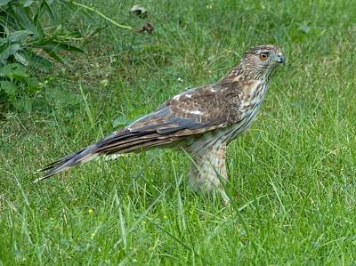 Wall Art - Photograph - Coopers Hawk by Robert Papps