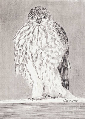 Drawing - Coopers Hawk by Shevin Childers