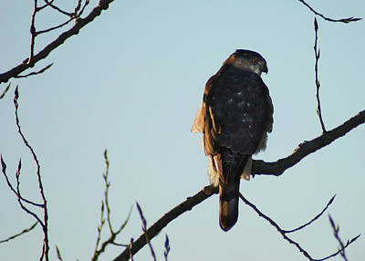 Photograph - Cooper's Hawk by Steve Karol