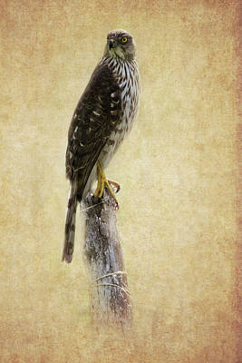 Photograph - Coopers Hawk Textured by Bill Wakeley