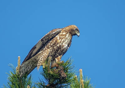 Photograph - Red Tailed Hawk With Prey 2 by Rick Mosher