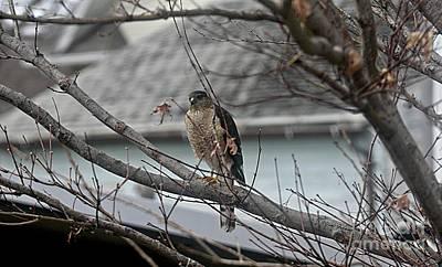 Photograph - Cooper's Hawk by Yumi Johnson