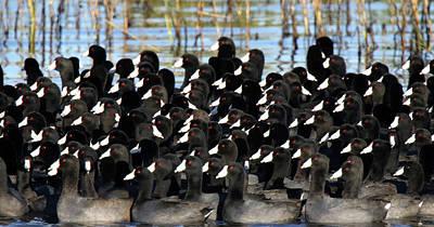 Photograph - Coot Migration by Mercedes Martishius