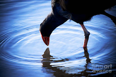 Moorhen Photograph - Coot Pond Droplet by Jorgo Photography - Wall Art Gallery