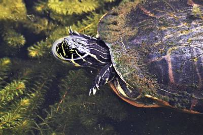 Photograph - Cooter Swimming by Warren Thompson