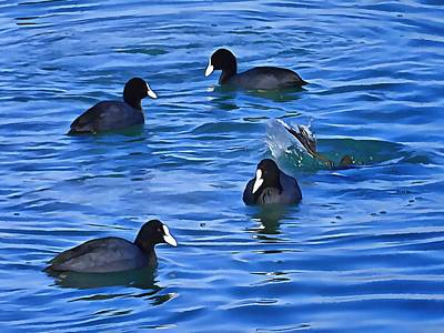 Photograph - Coots Feeding by Dorothy Berry-Lound