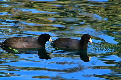 Photograph - Coots by Kathryn Meyer