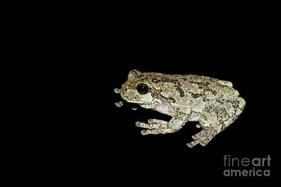 Frog Photograph - Cope's Gray Tree Frog #3 by Judy Whitton