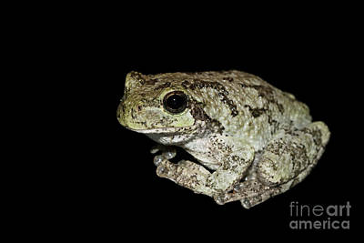 Photograph - Cope's Gray Tree Frog #4 by Judy Whitton