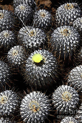 Copiapoa Cactus In Flower Chile Art Print by James Brunker