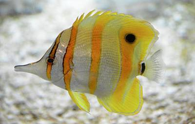 Photograph - Copper Banded Butterfly Fish by Richard Bryce and Family