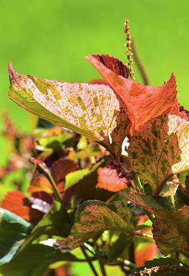 Photograph - Copper Leaves In The Sun by William Tasker