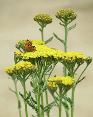 Photograph - Copper On Yellow - Butterfly by MTBobbins Photography