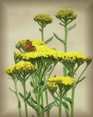 Photograph - Copper On Yellow - Butterfly - Vignette 2 by MTBobbins Photography