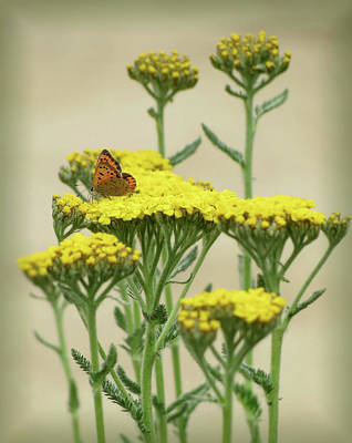 Photograph - Copper On Yellow - Butterfly - Vignette by MTBobbins Photography