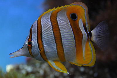 Photograph - Copperband Butterflyfish Chelmon Rostratus by Jennifer Bright